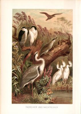 Chromolithographie aus 1890 zeigt Tagreiher und Nachtreiher in natürlicher Umgebung.