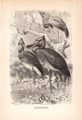 Stich aus 1890 zeigt Schuhschnäbel in natürlicher Umgebung.