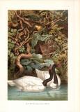 Chromolithographie aus 1890 zeigt Schwarzhalsschwäne in natürlicher Umgebung.