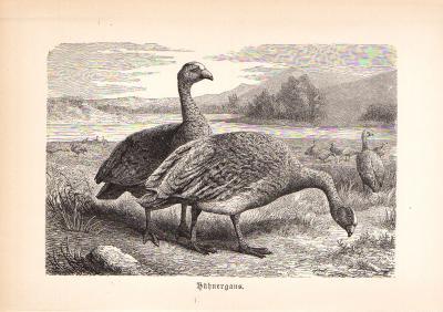 Stich aus 1890 zeigt Hühnergänse in natürlicher Umgebung.