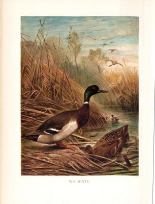 Chromolithographie aus 1890 zeigt Wildenten / Stockenten in natürlicher Umgebung.