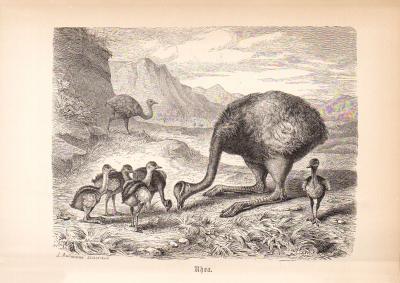 Stich aus 1890 zeigt Rheas / Nadus in natürlicher Umgebung.