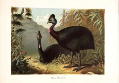 Chromolithographie aus 1890 zeigt Helmkasuare in natürlicher Umgebung.