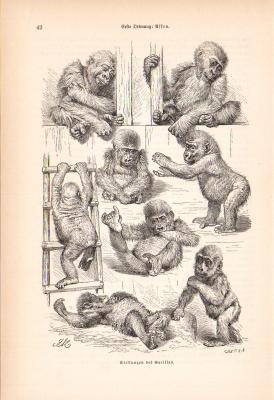 Stich aus dem Jahr 1890 zeigt verschiedene Körperhaltungen des Grorillas.