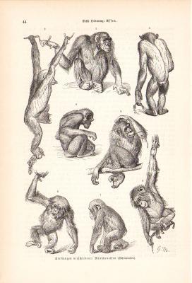 Stich aus dem Jahr 1890 zeigt verschiedene Körperhaltungen des Schimpansen.