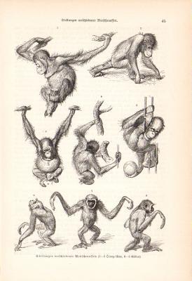 Stich aus dem Jahr 1890 zeigt verschiedene Körperhaltungen von Orang-Utan und Gibbon.