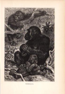 Stich aus dem Jahr 1890 zeigt Gorillas im Wald.