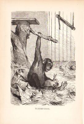 Stich aus dem Jahr 1890 zeigt einen Schimpansen in Käfighaltung.
