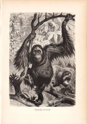 Stich aus dem Jahr 1890 zeigt Orang-Utane im Wald.