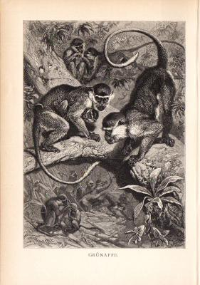 Stich aus dem Jahr 1890 zeigt eine Gruppe  Grünaffen im Dschungel.