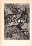 Stich aus dem Jahr 1890 zeigt eine Gruppe  Grünaffen im...