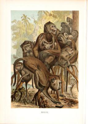 Chromolithographie aus dem Jahr 1890 zeigt eine Gruppe Makaken.
