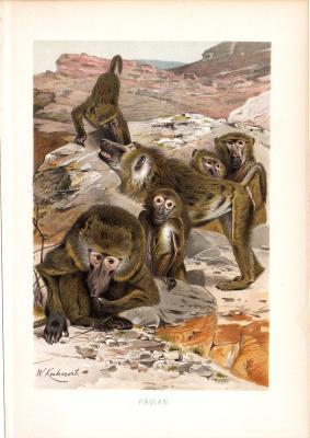 Chromolithographie aus dem Jahr 1890 zeigt eine Gruppe Paviane in felsiger Umgebung.