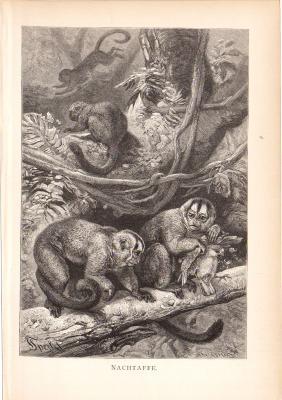 Stich aus dem Jahr 1890 zeigt Nachtaffen im Dschungel.