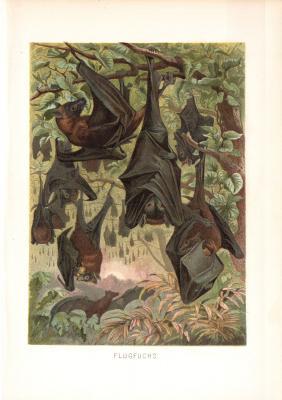 Chromolithographie aus dem Jahr 1890 zeigt Flugfüchse in einem Baum hängend.