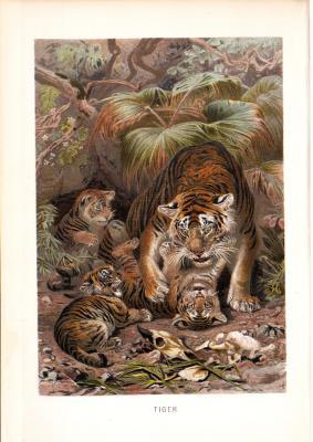 Chromolithographie aus dem Jahr 1890 zeigt Tiger im Dschungel.