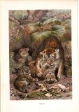 Chromolithographie aus dem Jahr 1890 zeigt Tiger im...