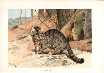 Chromolithographie aus dem Jahr 1890 zeigt eine Wildkatze mit geschlagener Beute im Maul.