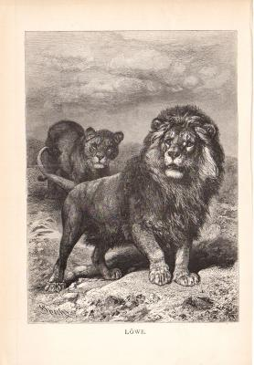 Stich aus dem Jahr 1890 zeigt männlichen und weiblichen Löwen in freier Wildbahn.