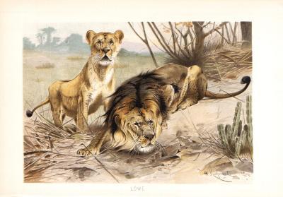 Chromolithographie aus dem Jahr 1890 zeigt Löwen und Löwin in freier Wildbahn.