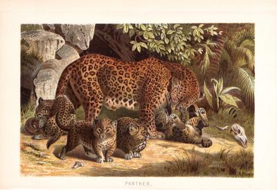 Chromolithographie aus dem Jahr 1890 zeigt Pantherweibchen mit ihren Jungen im Dschungel.