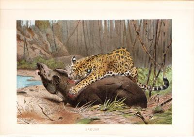 Chromolithographie aus dem Jahr 1890 zeigt einen Jaguar beim Beute schlagen.