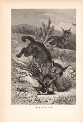 Stich aus dem Jahr 1890 zeigt einen Wüstenluchs beim Beute schlagen.