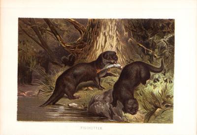 Chromolithographie aus dem Jahr 1890 zeigt zwei Fischotter mit Beute an einem Gewässer.