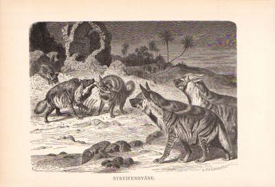 Stich aus dem Jahr 1890 zeigt Streifenhyänen in freier Wildbahn.