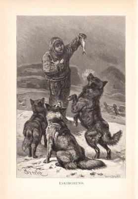 Stich aus dem Jahr 1890 zeigt Eskimohunde in freier Wildbahn.