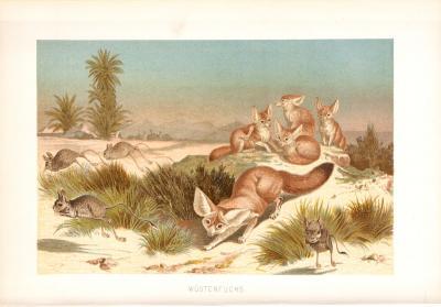Chromolithographie aus dem Jahr 1890 zeigt einen Wüstenfüchse in freier Wildbahn.