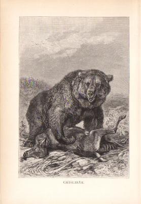 Stich aus dem Jahr 1890 zeigt einen Grislibären in freier Wildbahn beim Beute schlagen.