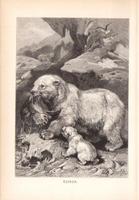 Stich aus dem Jahr 1890 zeigt eine Eisbärin und ihr Junges beim Beuteschlagen in freier Wildbahn.