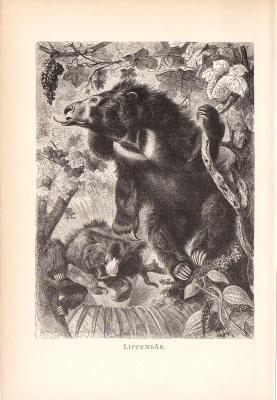 Stich aus dem Jahr 1890 zeigt zwei Lippenbären in freier Wildbahn.