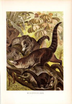Chromolithographieaus dem Jahr 1890 zeigt zwei Weißrüsselbären und ihr Junges in freier Wildbahn.