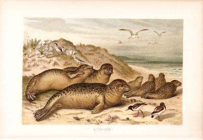 Chromolithographie aus dem Jahr 1890 zeigt Seehunde an einem Sandstrand in freier Wildbahn.