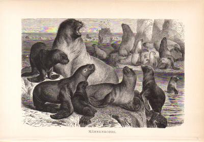 Stich aus dem Jahr 1890 zeigt Mähnenrobben am Meer in freier Wildbahn.