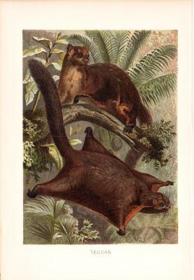 Chromolithographie aus dem Jahr 1890 zeigt zwei Taguane in freier Wildbahn.
