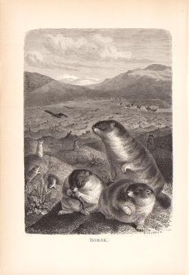 Stich aus dem Jahr 1890 zeigt Bobaks Steppenmurmeltiere in freier Wildbahn.
