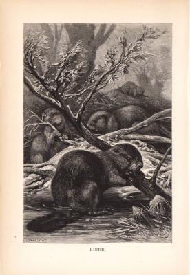 Stich aus dem Jahr 1890 zeigt eine Gruppe Biber in freier Wildbahn.