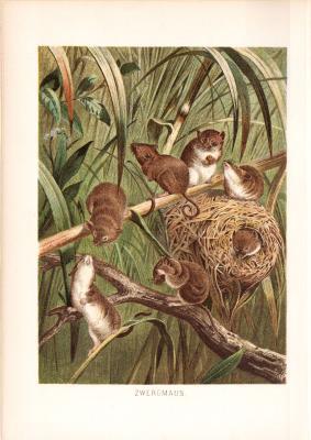 Chromolithographie aus dem Jahr 1890 zeigt einen Zwergmäuse in freier Wildbahn.