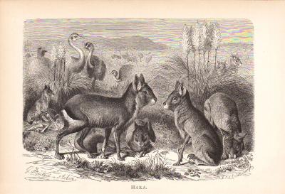 Stich aus dem Jahr 1890 zeigt eine Gruppe Maras in freier Wildbahn.