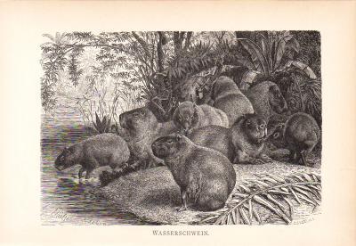 Stich aus dem Jahr 1890 zeigt eine Gruppe Wasserschweine in freier Wildbahn.