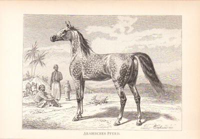 Stich aus dem Jahr 1890 zeigt ein Arabisches Pferd in einer Oasenszenerie.