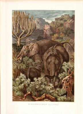 Chromolithographie aus dem Jahr 1890 zeigt afrikanische Elefanten in freier Wildbahn.