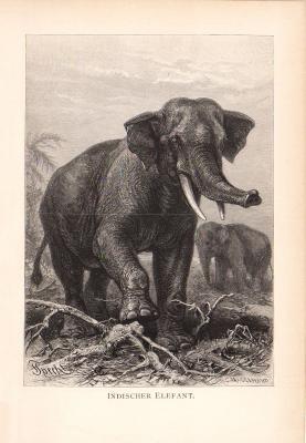Stich aus dem Jahr 1890 zeigt Indische Elefanten in freier Wildbahn.