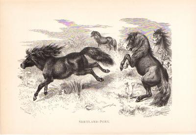 Stich aus dem Jahr 1890 zeigt eine Gruppe Shetland-Pony in freier Wildbahn.