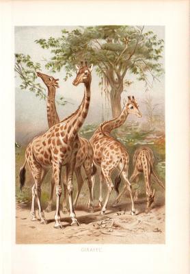 Chromolithographie aus dem Jahr 1890 zeigt eine Gruppe Giraffen in freier Wildbahn.