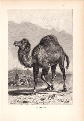 Stich aus dem Jahr 1890 zeigt ein Dromedar in einer Wüstenlandschaft.