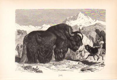 Stich aus dem Jahr 1890 zeigt eine Gruppe Jak in freier Wildbahn.